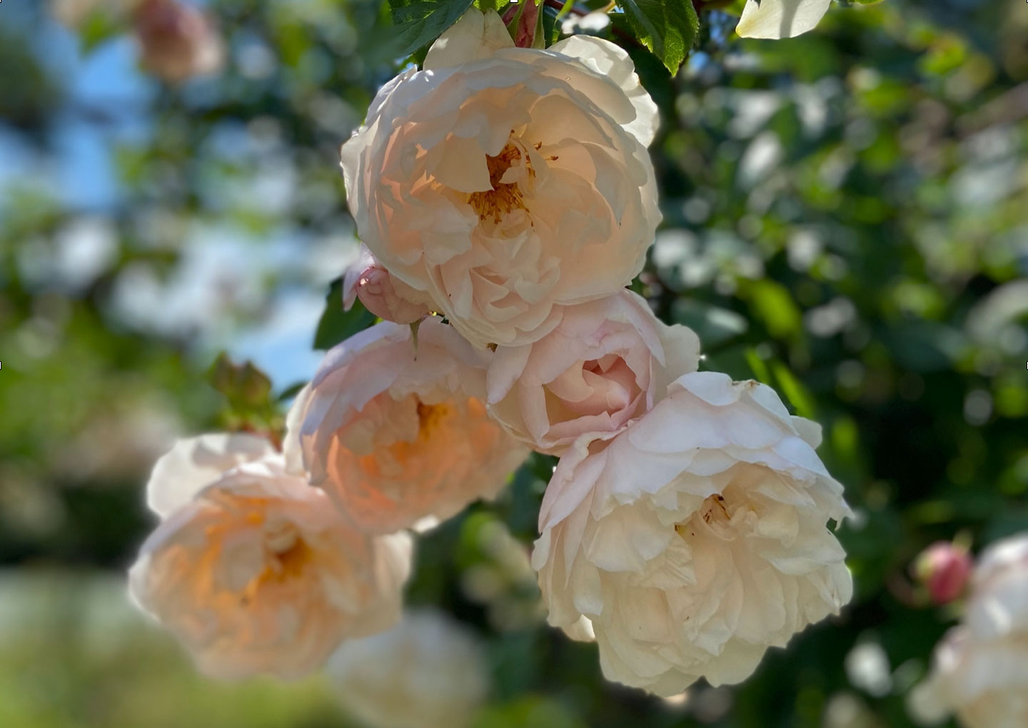 Rosa - The Generous Gardener - and the NGS