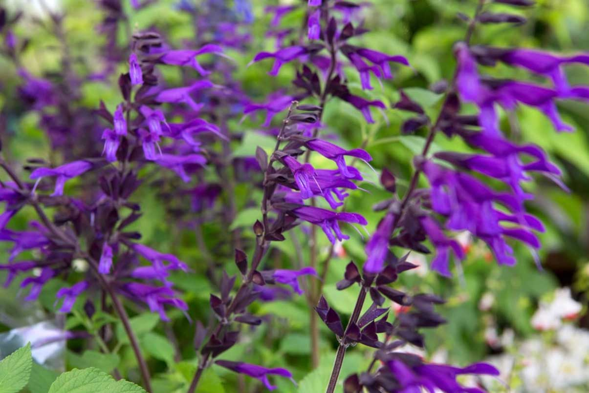 Salvia Amistad – making new ones!